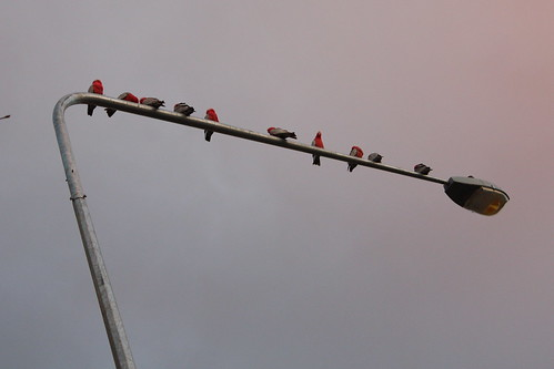 Parrots on a street lamp