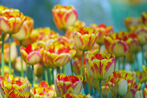 yellow-red tulips, İstanbul Tulip Festival, İstanbul Lale Festival, İstanbul, Pentax K10d