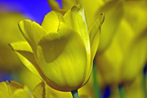 yellow tulips, istanbul