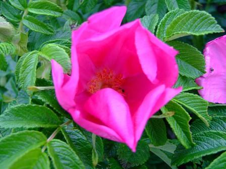 ハマナス~赤花