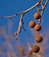 Hanging Balls Of Babylon