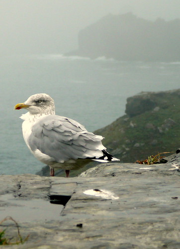 Seagull on Tintagel Castle Grounds