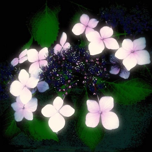 紫陽花。     #flower