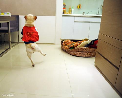 Perro disfrazado de superman