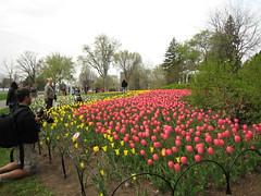 Canadian Tulip Festival - Commissioners Park 1
