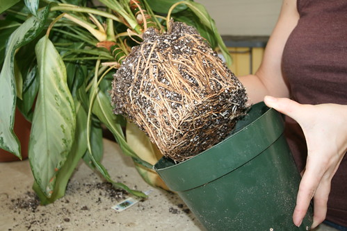 Remove root-bound plant from old pot