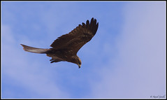 "Preying Black Kite • <a style=""font-size:0.8em;"" href=""http://www.flickr.com/photos/41711332@N00/5824888565/"" target=""_blank"">View on Flickr</a>"