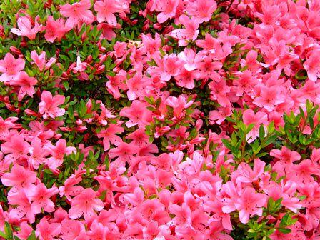 サツキ~赤花