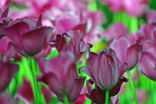 purple tulips, istanbul tulip festival, istanbul, pentax k10d