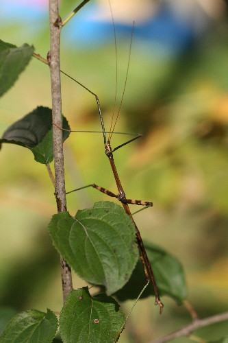 Northern Walkingstick, Diapheromera femorata