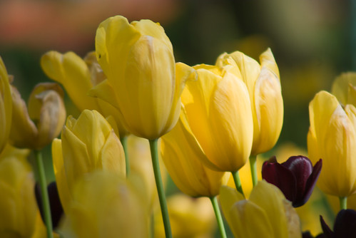 yellow and black tulips, istanbul tulip festival, pentax k10d