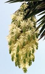 Yucca filifera #1