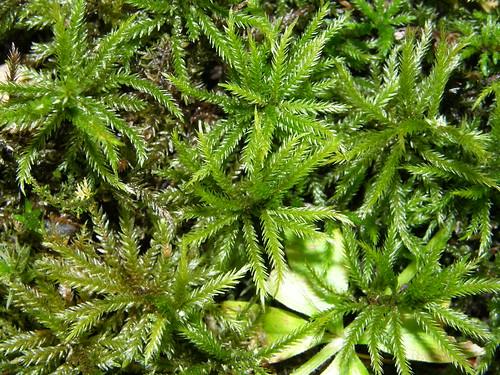 Climacium americanum cf.