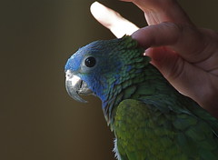 Blue Headed Pionus by GrayGeek2008