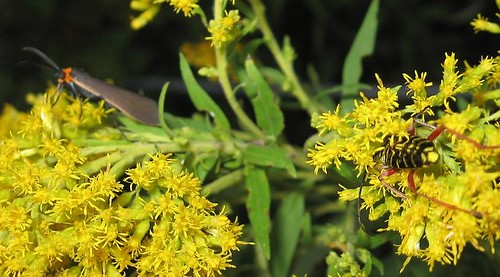 2 insects on Goldenrod - Sept 16 2008