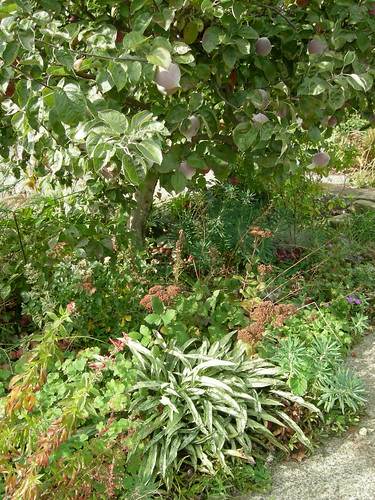 Apple tree underplanted with perennials