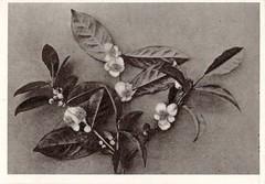 Old tea plant picture on Flikr