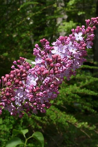 Lilac!
