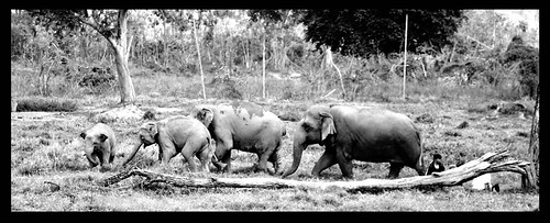 ELEPHANT NATURE FOUNDATION Chiang Mai Thailand 2/08