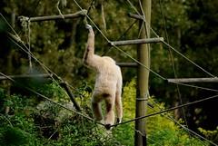 Weißhandgibbon im Tierpark CERZA in der Normandie