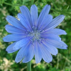 Roadside chicory flower