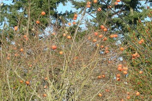 December persimmons