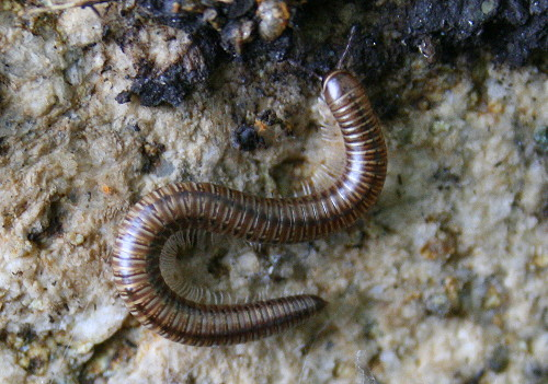 Millipede for International Rock-flipping Day