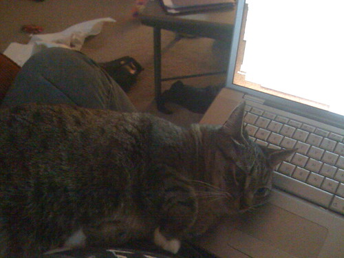 Momma cat curled up on my laptop