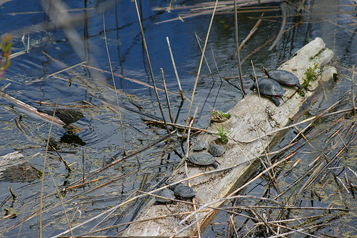 Turtles and blackbird