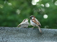 Bird - Sparrow feeding its young one
