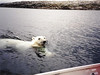 Polar Bear near my boat, MyLastBite.com