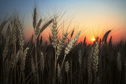 wheat2011 by swonders