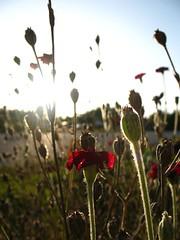 Poppies Glow