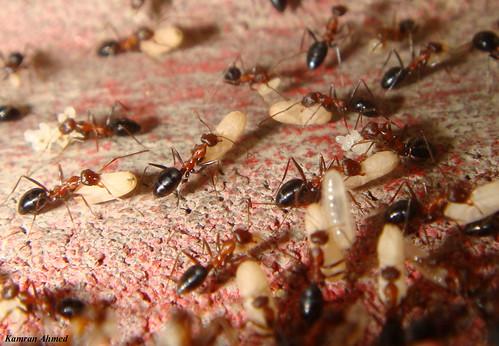 Ants Defending their Pupae (Eggs) (2655 Views)