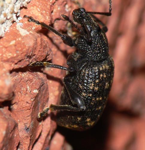 Vine weevil (otiorhynchus sulcatus)