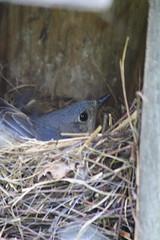 Eastern Bluebird Female on the Nest