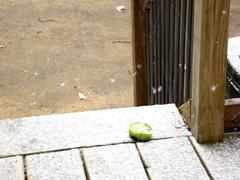 Last green tomato