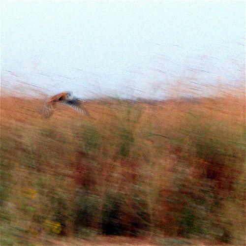 the fuzzy dream of a barn owl