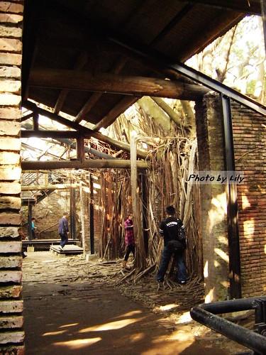 伸進磚造倉庫內的榕樹根。
