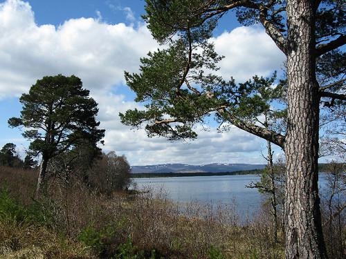 Majestic Scots Pines