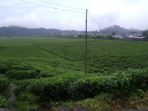 Buea tea plantation.