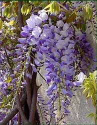 wisteria-chinensis-flores.jpg