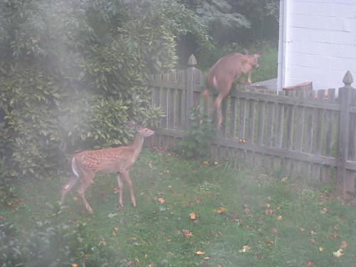 Deer in our yard - 20080912-2