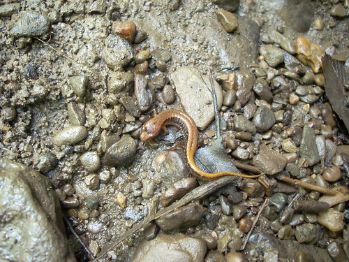 Salamander6