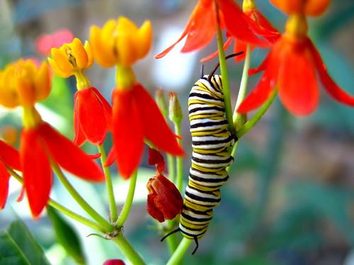 Ларва (гусеница) лептира монарха (аутор OakleyOriginals)