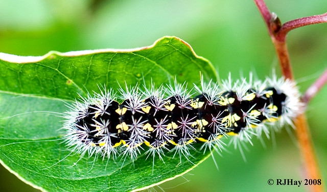 Black and Yellow Caterpillar - Rondeau Provincial Park