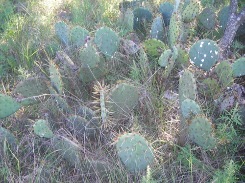 Texas Cacti by you.