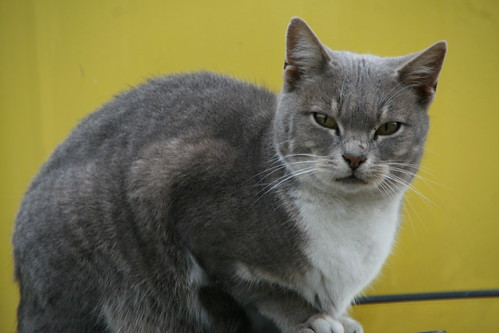 a cat - γάτα