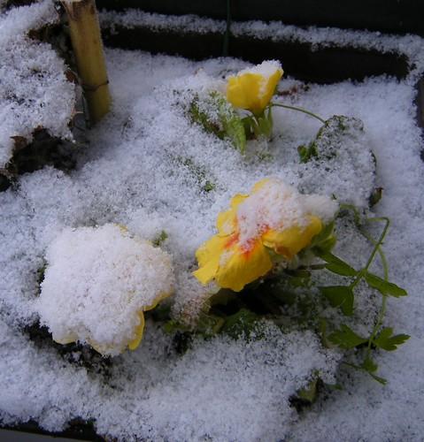 Primel im Schnee
