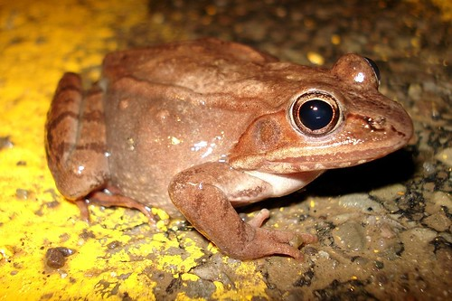 Wood Frog in the Road